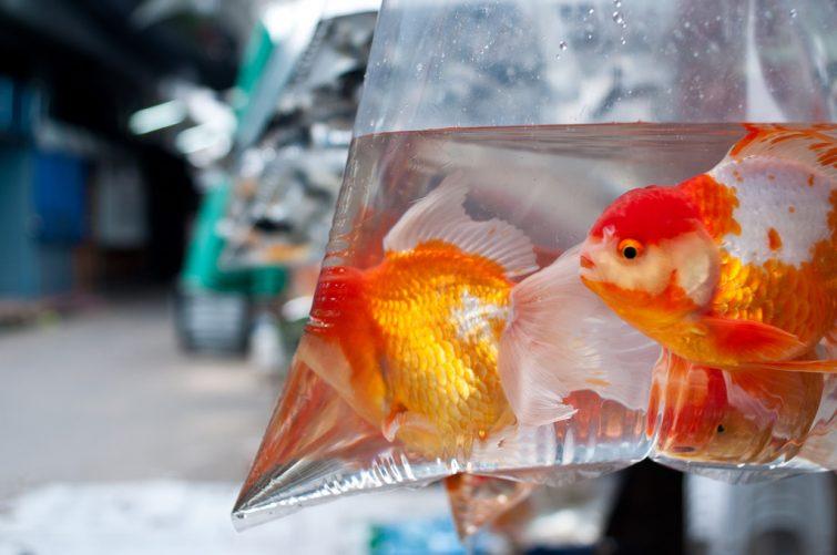 vissen verhuizen